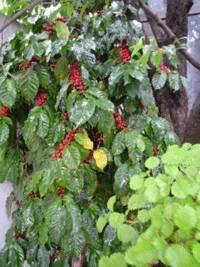 la planta de café semilla de café cafeto origen del café en
