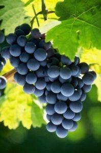 Dieta de uva para el tratamiento naturista contra el alcoholismo