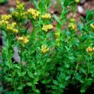 planta rhodiola