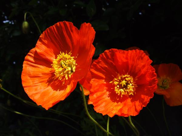 Cuidado de la amapola un jard n colorido y lleno de vida for Amapola jardin de infantes palermo