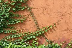 Las plantas trepadoras de jard n enredaderas de jard n for Plantas trepadoras de jardin