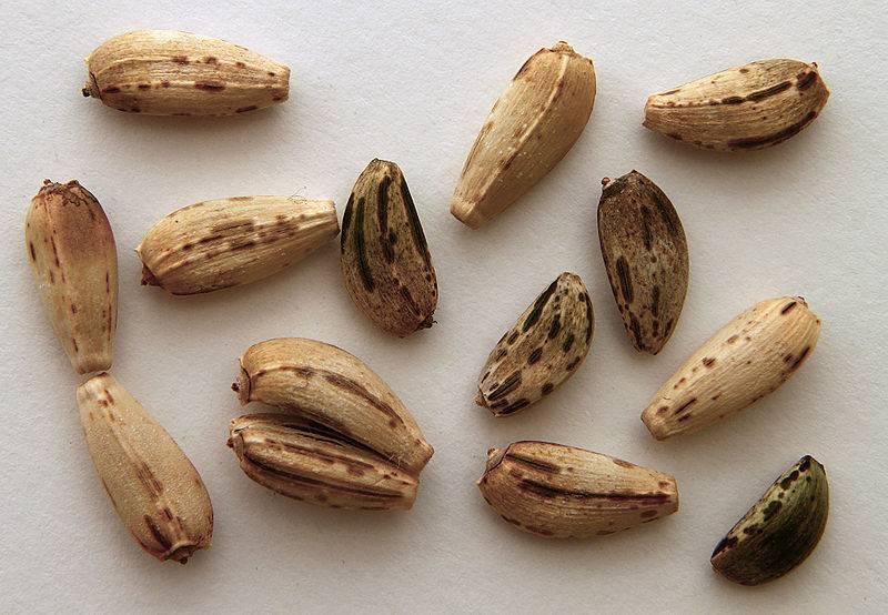 Semillas de cardo lechoso